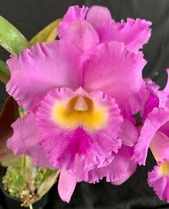 RON Cattleya Orchid Special Div Rlc. Andres Supreme x Rlc. Mahina Yahiro (4316)
