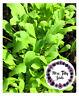 Italienische Rauke 300 Samen Rucola Kräuter Salat Balkon Garten gesund mild