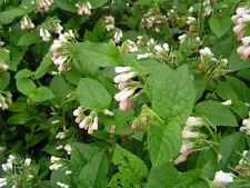 Symphytum grandiflorum Comfrey Early spring Bee flower ground cover Woodland/Sun