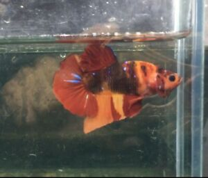 live fish betta redgalaxy male and female beautiful body color, Limited