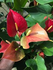 """Anthurium """"Fire Glow"""" - Large Well Established Plant in 6"""" Pot"""