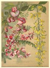 Robinia, Indigofera - Cromolitografia Originale P Parey 1800 Flower Fiori