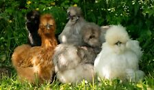 6 x Show quality SILKIE hatching eggs. mixed colours for incubator or broody hen