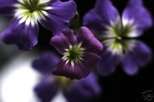 RARE INDIGO FORGET-ME-NOT 60+ FLOWER SEEDS / PERENNIAL