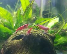 10 Bloody Mary super red cherry shrimp juveniles neocardinia Beautiful!