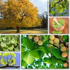 GINKGO BILOBA tall deciduous tree maidenhair-like foliage plant in 175mm pot