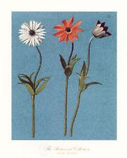 Daisy Flowers by Francesco Mengucci. Antique Renaissance Floral Art Lithograph