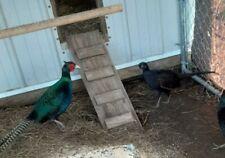 9 Beautiful Blue Green Pure Melanistic Pheasant Hatching Eggs