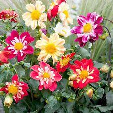 Dahlia Dandy Mix - 50 seeds - Annual