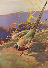 Ring Neck Pheasants by F.L. Jaques vintage 40s print