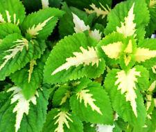 COLEUS VERSA GREEN HALO Solenostemon Scutellarioides - 40 Bulk Seeds