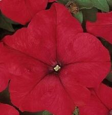 50 Seeds Pelleted Dreams Red Petunia Seeds Flower Seeds
