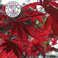 Rare Japanese Red Maple - Acer palmatum,  Mini Bonsai tree - 5 seeds - UK SELLER