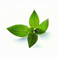 Peppermint Seeds 50 Seeds Mentha Piperita Hybrid MINT Aromatic Herb Plants D032