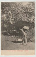 Unused Postcard Ostrich at Cawstons Ostrich Farms California CA
