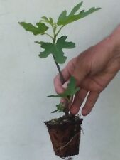 CHICAGO HARDY FIG TREE  TWO  ( 1 ) 8 to 12 inches BUSH PLANTS