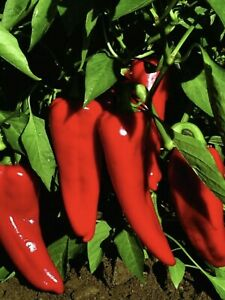 ITALIAN SWEET PEPPER MARCONI...HEAVY CROPPER...25 QUALITY SEEDS ✅ FAST DISPATCH