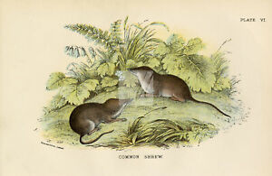 Antique Coloured Print of the Common Shrew - Vintage 1896 #F989