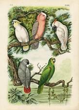 Antique Birds Print-COCKATOO-AMAZON PARROT-Nuyens-1886