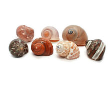 """7 Assorted Turbo Hermit Crab Shells 1""""-2"""" size (opening 5/8""""-1"""") Free Shipping"""