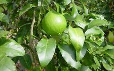 ***Bergamotteöl, Reggio, naturrein, 30 ml, Italien (Citrus bergamia)