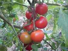Lukullus Tomate sehr alte deutsche Sorte früh reifend ertragreich bis zum Frost