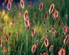 Fountain Grass 'Red Buttons' -Pennisetum Thunbergii 'Red Buttons' - 20 Seeds