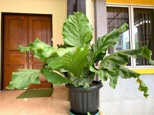 Anthurium Plowmanii seeds