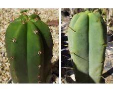 Trichocereus sp. 'Super Pedro' x Trich. bridgesii 'JAC008' BULK Seed