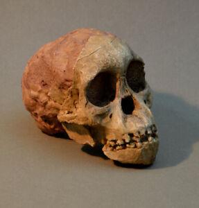 """Australopithecus Africanus """"Taung Child"""" Skull Replica. Economy."""