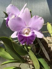 Do- Lc. Mini Purple coerulea 'H&R' 4n x self, mini-Cattleya Orchid