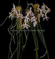 Paraphalaenopsis Kolopaking     *Fragrant
