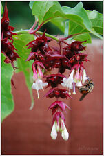 HIMALAYAN HONEYSUCKLE BUSH 151+ SEEDS UNUSUAL FLOWERS GROWS FAST FROM SEEDS