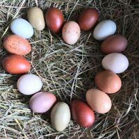 14+ Barnyard Mix Fertile Hatching Eggs Black Copper Marans NPIP