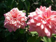 Monsieur Tillier Salmon Pink Tea Rose 2 Gal. Live Upright Shrub Plant Roses Home