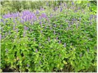 50 GRAINES AGASTACHE BLEUE - ODORANTE - SPECTACULAIRE - FACILE - MELLIFERE