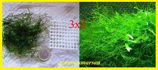 3X PORCIONES.Planta de acuario,gambario, paludario.VESICULARIA DUBYANA.Java moss