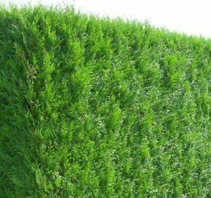Thuja Samen Thuja occidentalis 50 Stück Lebensbaum