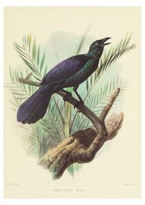 Manucodia Atra (Bird of Paradise) by J. Wolf & J. Smith A2 Art Paper Print