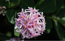 RARE 4 graines d' ARBRE POMPON(Dais Cotinifolia)H234 POMPOM TREE SEEDS SEMILLAS