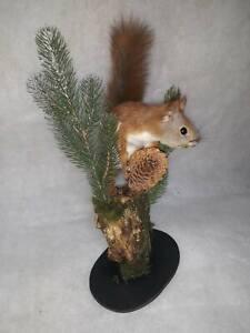 Stuffed Squirrel Taxidermy Animal stuffed