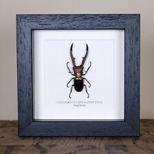 Stag Beetle in Box Frame (Cyclommatus metallifer finae)