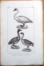Swan/Goose/Le Cygne, L'Oie Sauvage, L'Oie De Guinee - 1830s French Bird Print