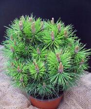 Zwergkiefer Pinus mugo Piccobello 15-20cm Nadelgehölz Zwergsorte