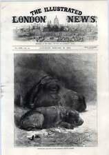 1872 ippopotamo con il bambino allo Zoo ultimo arrivo