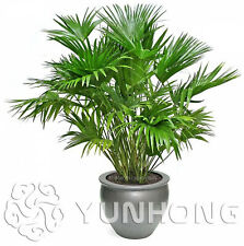 Garden Livistona Chinensis Seeds Plants Bonsai Ornamental Fountain Green 10pcs