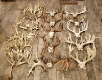 "Whitetail Deer Antler Lot!!! Over 4000"" of antler Taxidermy Horns Cabin Buck!!!"