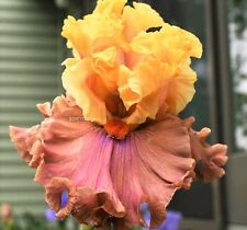 "Tall Bearded Iris""Glamazon"" (Blyth)'07-Bubbled Ruffled-Copper/Butterscot ch-Wow!"