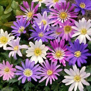 10, 25, 50 or 100 - Mixed Anemone Blanda Bulbs - Free Postage - Flowering Bulbs