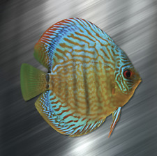 (1) ONE Discus Vinyl Decal Sticker Car Laptop Tropical Fish Aquarium Cichlid NEW